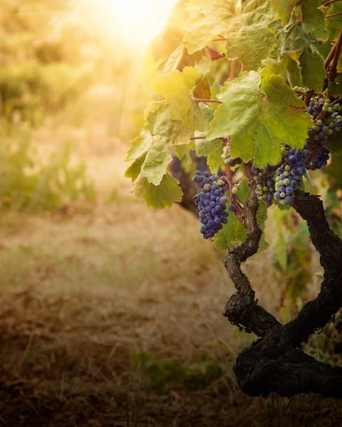 Lodi Wine Country Region Image