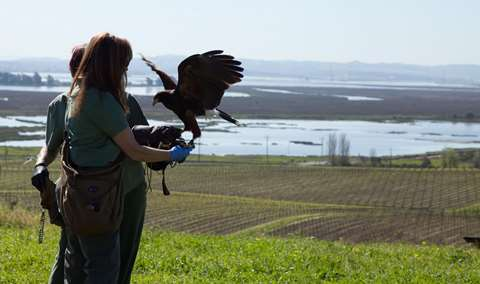 Falconry In The Vineyard Image