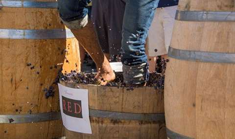 Benessere Vineyards 2019 Grape Stomp Competition Image
