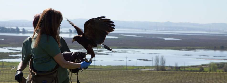 Purchase Tickets to Falconry In The Vineyard at Bouchaine Vineyards on CellarPass